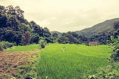 Paisaje Chiang Mai (M.Pellitero) Tags: rural verde arrozal hilltribe poblado tribu