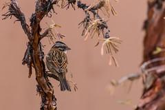 Rufous-Collared Sparrow (fabioresti) Tags: rufouscollared sparrow zonotrichia capensis passero dal collare rossiccio isla suasi island isola lago titikaka lake per 2016 canon eos 80d 55250