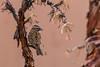 Rufous-Collared Sparrow (fabioresti) Tags: rufouscollared sparrow zonotrichia capensis passero dal collare rossiccio isla suasi island isola lago titikaka lake perù 2016 canon eos 80d 55250