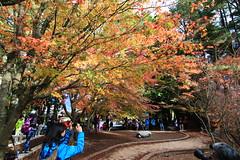 IMG_7770 (ciounanpan) Tags: 楓葉 福壽山農場 台中 梨山 參山國家風景區 秋天 逆光 溪瀑 台8線 中橫 楓之谷 楓紅 槭