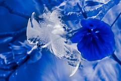 (evisdotter) Tags: bluewhite flower feather 2in1 myart macro