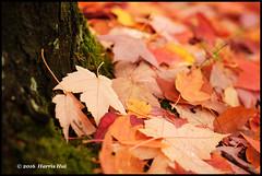 Got A Ticket To Fall?  - Cambridge XT4292e (Harris Hui (in search of light)) Tags: harrishui fujixt1 digitalmirrorlesscamera fuji fujifilm vancouver richmond bc canada vancouverdslrshooter mirrorless fujixambassador xt1 fujixcamera fujixseries fujix fuji60mmf24macro fujiprimelens fixedlens fall autumn fallcolor autumncolor fallleaves fallenleaves maples leaves leafmealone bokeh depthoffield cambridgestreet eastvancouver closeup macro carpet fallcarpet poetry chinesepoetry naturepoetry poemforautumn