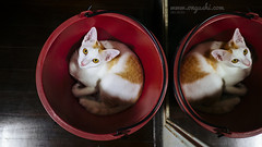 CAT 175: Twin Bucket Cat (ongushi) Tags: animal animals petstagram petsagram photooftheday catsofinstagram ilovemycat instagramcats catoftheday lovecats lovekittens adorable catlover instacat olympus bangkok thailand ongushi ongie mirrorless pet catmoments panasonic leica bucket twin mirror red