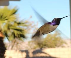 November 30, 2016 (64) (gaymay) Tags: california desert gay love riversidecounty coachellavalley hummingbirds flying purple rainbowgame