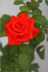 Another rose (angeluzca) Tags: rose rosa flor flores flower flowers planta plant plantas espinas hojas petalos petalo rosal rojo rosaroja plantasdejardn canon canon50d nature natural naturaleza biologa flora floraandfauna