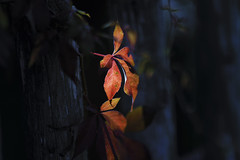 Herbstlaub (blichb) Tags: 2016 augsburg bayern botanischergarten deutschland herbst sonya7rii blichb laub blatt foliage zeissbatis1885