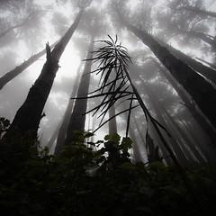 Reaching (buddythunder) Tags: skyline fog lancewood trees canopy trunks perspective pine mist wellington newzealand mood dreamy inspiration effort strain yearn