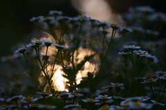 Daisy Dusk (Ptolemy the Cat) Tags: sunset dusk bokeh daisies garden flowers plants outdoors nikond600 tamronf2890mmmacrolens lowkey
