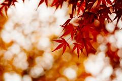 Still, Momiji Love. (sunnywinds*) Tags: autumn momiji japanesemaple kyoto leaf leaves foliage leica leicam aposummicron summicron eikando bokeh        moody