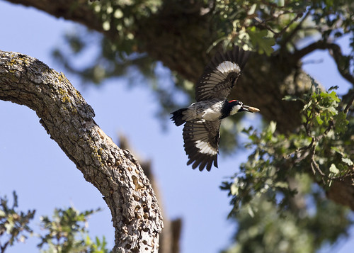 woodpecker in flight 1