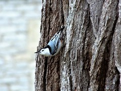 White-breasted Nuthatch (Sitta Carolinensis) on Oak (Lana Pahl / Country Star Images) Tags: catchycolors belovedbirds birdsofeasternusa birdsoftheeast birdsnorules