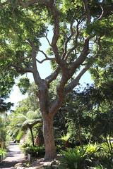Red Cedar (Toona ciliata) - 1820 (Poytr) Tags: redcedar toonaciliata arfp nswrfp qrfp rbgs meliaceae australianredcedar royalbotanicgardenssydney plant tree outdoor historictree rbgsrfp rbgsarfp