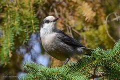 Gray Jay (naturegirl99) Tags: bird jay grayjay greyjay canadajay whiskeyjack