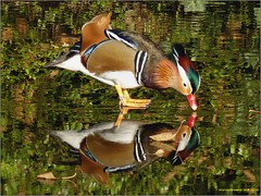Mandarijneend 04 (engelsejann) Tags: natuur vogel mandarijneend