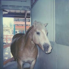 Haflinger Horse (dreamscapesxx) Tags: instant polaroid theimpossibleproject polaroid600businessedition impossible600colorfilm haflinger horse stall barn inside atthezoo lowryparkzoo tampafl snapitseeit