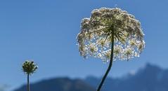 Envie d'être grande... (J&S.) Tags: france hautesavoie passy ombelle fleur nature montblanc jardin bleu jardindescimes chedde