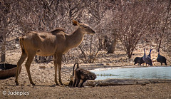 """Chilling at the Water Hole"""" (judepics) Tags: guineafowl waterhole africa ape monkey namibia"""