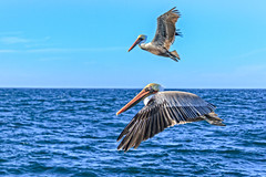 Flying Pair (http://fineartamerica.com/profiles/robert-bales.ht) Tags: forupload projects pelican water ocean wings nature bird wildlife brown birds flight flying shore pelecanus occidentalis blue birding pelecanusoccidentalis brownpelican coast sea birdwatching feathers animals ornithology wild feather pelicans waterfront waterfowl birdflying shorebird closeup gliding seabird fowl waterbird louisianastatebird aves birdphotography american beauty robertbales piling pouch pacificcoast pacificnorthwest