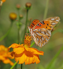 Happy Fritillary Friday (Vicki's Nature) Tags: gulffritillary butterfly orange spots white cosmos wildflowers buds etowahriverpark canton georgia vickisnature canon s5 9967 dof bokeh