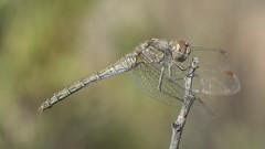 Striolatum in Autumn (jrosvic) Tags: sympetrumstriolatum libellulidae dragonfly libélula odonata odonato anisoptero anisoptera entomology entomología freehand sierraespuña totana murcia spain nikon60mm28dmicro kenkopro300x14 nikond7100 macro micro closeup insects insect