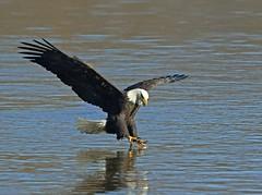 Bald Eagle (frank1556) Tags: bald eagle