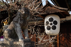 日本 京都奈良5日遊 Koyto&Nara JAPAN_20160225_299 (PS612) Tags: 日本 京都府 北野天滿宮 kitanotenmangushrine sagano kyoto japan spring fujifilmxt10
