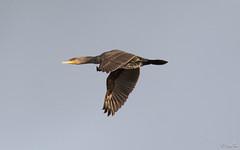 Aalscholver - Great Cormorant - Phalacrocorax carbo - 8858 (Djien) Tags: vogels castricum noordholland nederland nl