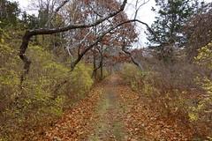 DSC07719 (Putneypics) Tags: capecod forest trail oak honeysuckle nature woods falmouth putneypics