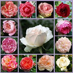 Nun lasst uns singen Gott dem Herrn (amras_de) Tags: rose rosen ruža rosa ruže rozo roos arrosa ruusut rós rózsa rože rozes rozen roser róza trandafir vrtnica rossläktet gül blüte blume flor cvijet kvet blomst flower floro õis lore kukka fleur bláth virág blóm fiore flos žiedas zieds bloem blome kwiat floare ciuri flouer cvet blomma çiçek