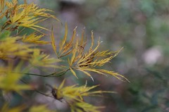 The Acer Palmatum Fall Show (bamboosage) Tags: helios 402 1585 preset m42 russia