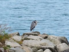 Grey heron (アオサギ) (Greg Peterson in Japan) Tags: shigaprefecture japan jpn moriyama shiga egretsandherons fall rivers wildlife yasugawa birds season