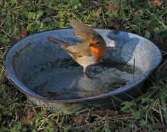 celui qui surveillait mme la piscine (laetitiablableuse) Tags: bourgogne burgundy yonne nature hiver winter oiseau bird animal rouge gorge through eyes awesome shots sanctuary birdwatching world