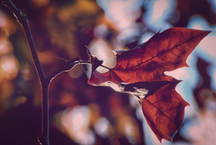 The leaf and the light. (Miguel Angel SGR) Tags: leaf leaves hoja hojas feuilles luz light lights licht nature naturaleza otoño fall autumn automne autunno herbst color colorful colour colors colorido backlight backlighting contraluz bokeh focus enfoque d3000 detalles details detalle detail dof desenfoque deepoffield tones tonos colores colore caravaca caravacadelacruz caravaca2017 murcia españa spain espagne espagna nikon nikond3000 miguelonphotography miguelangelsgr exterior exteriores outdoor