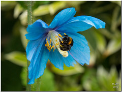 Bee on a Himalayan Blue Poppy (Maria-H) Tags: uk england garden cheshire unitedkingdom panasonic bee meconopsis arley 100300 arleyhall gh3 himalayanbluepoppy dmcgh3