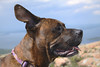 The wind in his wings 25/52/13 (Hodgey) Tags: dog tongue ear granite brindle barharbormaine ralph cadillacmountain jowls acadianationalpark boxerx 52weeksfordogs