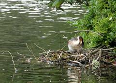 Grebe tidying up nest (bryanilona) Tags: lake nest arboretum grebe repairs walsall abigfave