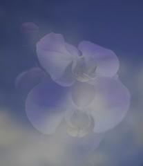 #9 Orchid Skies.