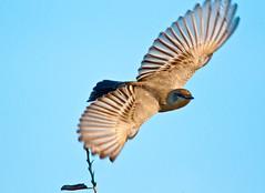 Take-off (Photosuze) Tags: nature birds flying wings wildlife flight aves takingoff phoebes saysphoebe sayornissaya