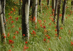 Indian paintbrushes 2 (bichane) Tags: trees red flower green field grass long many indian meadow trunks wildflower paintbrush