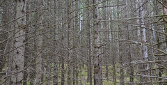 Branches, trunks, moss (Monceau) Tags: lines pine forest moss woods branches trunks raasay