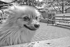 Boo the Pomeranian. (CWhatPhotos) Tags: pictures camera dog pet color colour cute colors animal canon that photography pom sand colours foto image artistic pics dwarf sandy picture canine pic images boo have photographs photograph fotos colored pomeranian coloured which spitz contain s90 pompom zwergspitz cwhatphotos dwarfspitz