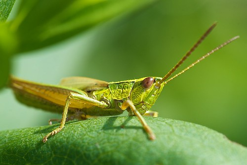 Large Gold Grasshopper (Chrysochraon dispar)