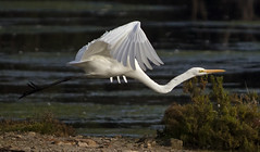 Egret Flying (TheGreatContini) Tags: white bird long flight sydney feathers australia tall greategret plumage