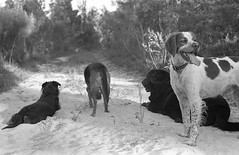 blackandwhite dog bird film 35mm brittany kodak trix hunting canine domestic chow spaniels