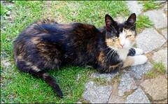 Katze, cat, chat (tor-falke) Tags: animal cat chat sony domestic katze haustier felis felissilvestriscatus hauskatze sonyalpha torfalke flickrtorfalke alpha200230
