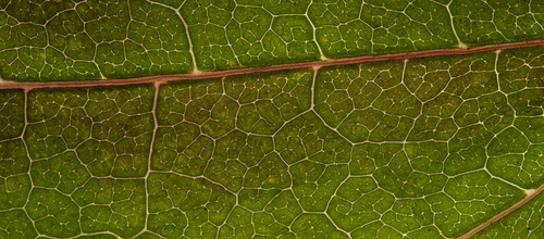Vains of a green leaf