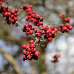 Maturing Red (@noutyboy (Instagram)) Tags: autumn red holland fall netherlands canon dof bokeh herfst nederland 28 rood nieuwegein 1755mm nout eos550d noutyboy