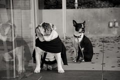 caped crusaders (bluechameleon) Tags: autumn urban blackandwhite bw reflection dogs glass leaves vancouver sweater bokeh expression canine bulldog boxer cape bullbreed bluechameleon thelittledoglaughed sharonwish bluechameleonphotography ldlnoir