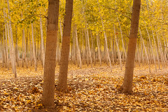 Autumn Lines (DavidFrutos) Tags: wood autumn brown green yellow forest landscape paisaje explore canondslr albacete canon50mm explored agramn davidfrutos 5dmarkii poplarfield