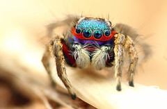 Colorful Jumping Spider (karthik Nature photography) Tags: color macro nature animals closeup forest canon garden photography spider spiders wildlife pho jumpingspider macrophotography salticidae macroworld animalworld spiderworld insectphotography macrolife malejumpingspider colorfuljumpingspider beautifuljumpingspider jumpingspidersinindia nakaphocom nakapho